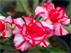 Adenium Tripple rose